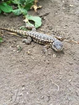 Lizard friend at Montana de Oro, CA